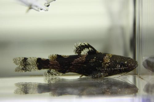 バンブルビーキャット パンタナル 東海 岐阜 熱帯魚 水草 観葉植物販売 Grow aquarium