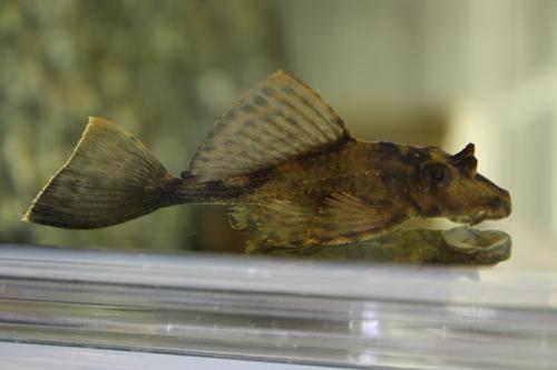 サタン プレコ 東海 岐阜 熱帯魚 水草 観葉植物販売 Grow aquarium