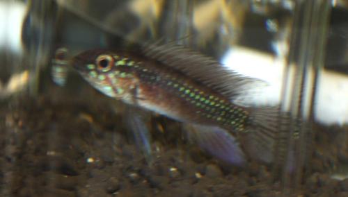 アピストグラマ エリザベサエ レッドベリー 独BR 東海 岐阜 熱帯魚 水草 観葉植物販売 Grow aquarium