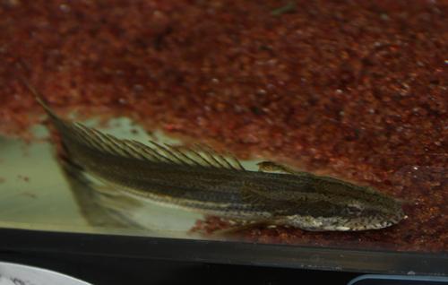 ポリプテルス ラプラディー 東海 岐阜 熱帯魚 水草 観葉植物販売 Grow aquarium