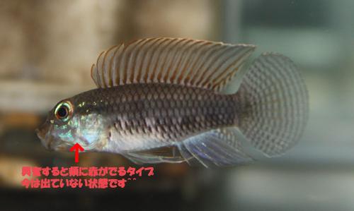 アピストグラマ イニリダエ ワイルド 東海 岐阜 熱帯魚 水草 観葉植物販売 Grow aquarium