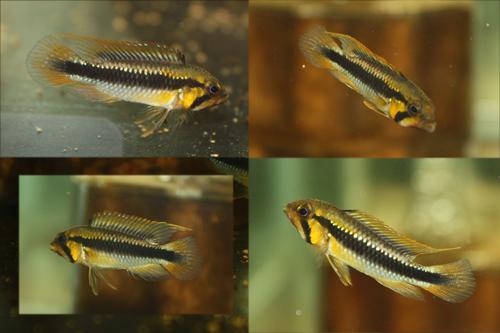 アピストグラマ ウィルヘルミー ワイルド 東海 岐阜 熱帯魚 水草 観葉植物販売 Grow aquarium