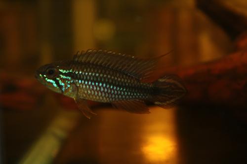 アピストグラマ アガシジー テフェ バウアナ 東海 岐阜 熱帯魚 水草 観葉植物販売 Grow aquarium