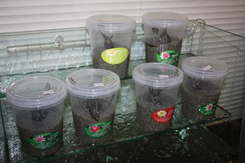 温帯性スイレン、睡蓮入荷 スイレン栽培セット スイレン鉢セット 東海 岐阜 熱帯魚 水草 観葉植物販売 Grow aquarium