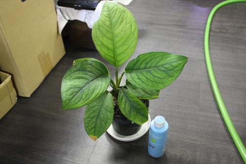 クルカシア マンニー Culcasia manii東海 岐阜 熱帯魚 水草 観葉植物販売 Grow aquarium