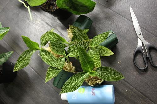 ルディシア ディスカラー アルバ 東海 岐阜 熱帯魚 水草 観葉植物販売 Grow aquarium