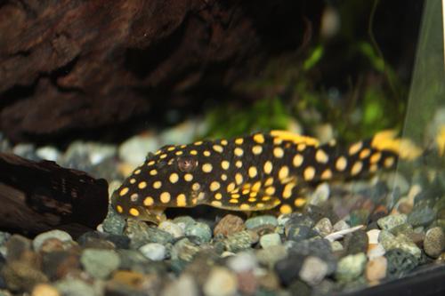 オレンジフィンカイザー 東海 岐阜 熱帯魚 水草 観葉植物販売 Grow aquarium