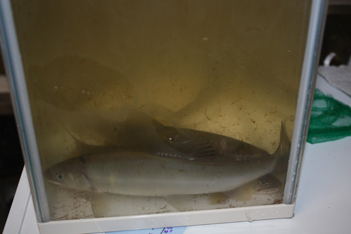 ワイルド鮎・・・ いただきます。 東海 岐阜 熱帯魚 水草 観葉植物販売 Grow aquarium