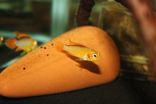 アピストグラマ ファイヤーレッド 東海 岐阜 熱帯魚 水草 観葉植物販売 Grow aquarium