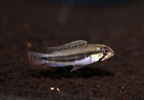 アピストグラマ ディプロタエニア Igジャバリ 東海 岐阜 熱帯魚 水草 観葉植物販売 Grow aquarium