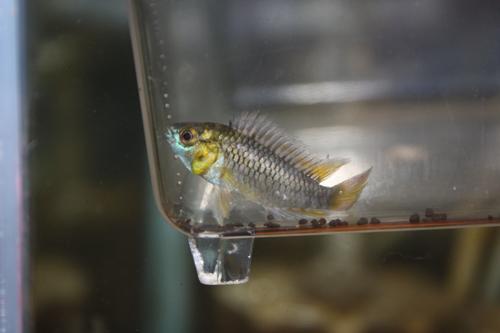 アピストグラマ ホイグネイ 東海 岐阜 熱帯魚 水草 観葉植物販売 Grow aquarium