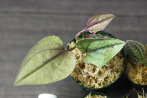 Nephelaphyllum pulchrum laos 東海 岐阜 熱帯魚 水草 観葉植物販売 Grow aquarium