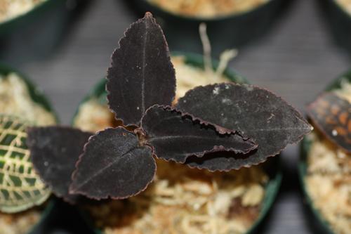 Cystorchis rostellata 東海 岐阜 熱帯魚 水草 観葉植物販売 Grow aquarium