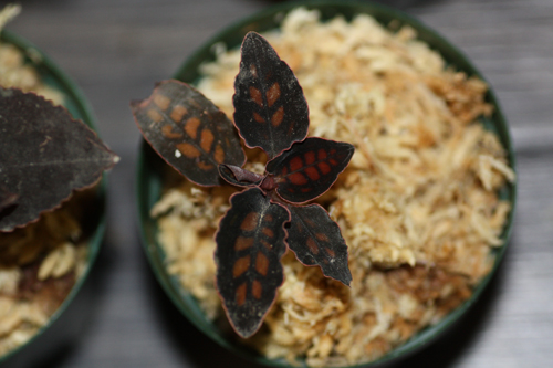 Cystorchis stenoglossa 東海 岐阜 熱帯魚 水草 観葉植物販売 Grow aquarium