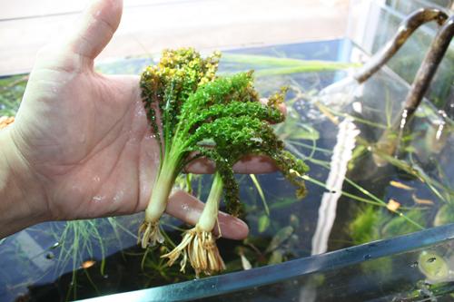 オテリアメセンテリウム 東海 岐阜 熱帯魚 水草 観葉植物販売 Grow aquarium