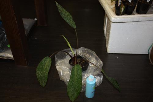 スキスマトグロッティスcf.ワリシー(スラウェシ産) Schismatoglottis cf. wallisii 東海 岐阜 熱帯魚 水草 観葉植物販売 Grow aquarium