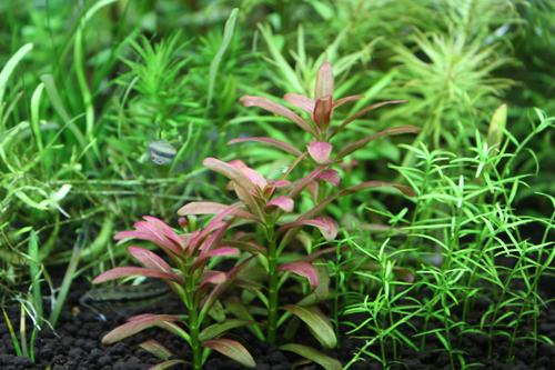 アルアナの夕焼け アルアナサンセット 東海 岐阜 熱帯魚 水草 観葉植物販売 Grow aquarium