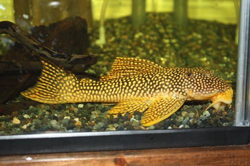 フラッシュゴールデンマグナムプレコ 東海 岐阜 熱帯魚 水草 観葉植物販売 Grow aquarium
