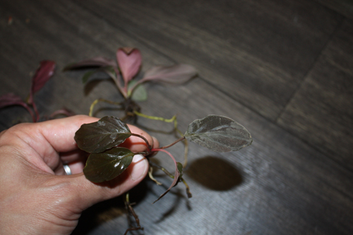 Homalomena sp. from Mt.besar ホマロメナsp. マウントベサール 東海 岐阜 熱帯魚 水草 観葉植物販売 Grow aquarium