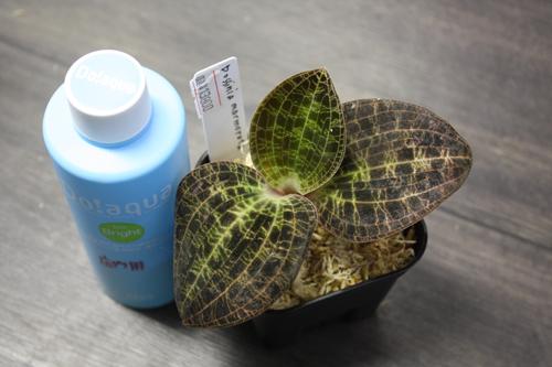 Dossinia marmorata ドッシニア マルモラータ 東海 岐阜 熱帯魚 水草 観葉植物販売 Grow aquarium