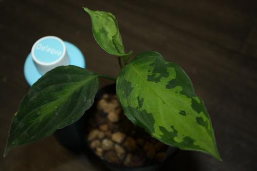 アグラオネマsp. トリカラー インドネシアワイルド 東海 岐阜 熱帯魚 水草 観葉植物販売 Grow aquarium