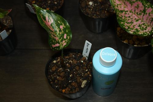 アグラオネマ マニーサイアム東海 岐阜 熱帯魚 水草 観葉植物販売 Grow aquarium