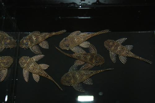 クイーンアラベスク 東海 岐阜 熱帯魚 水草 観葉植物販売 Grow aquarium