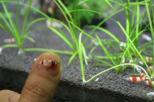 ネイルアート レッドビーシュリンプ万歳!! 東海 岐阜 熱帯魚 水草 観葉植物販売 Grow aquarium