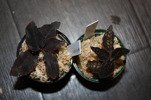 左Cystorchis rostellata シストーチス ロステラータ、右Cystorchis stenoglossa シストーチス ステノグロッサ東海 岐阜 熱帯魚 水草 観葉植物販売 Grow aquarium