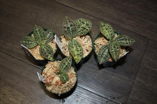 ジュエルオーキッド マコデス ペトラ東海 岐阜 熱帯魚 水草 観葉植物販売 Grow aquarium