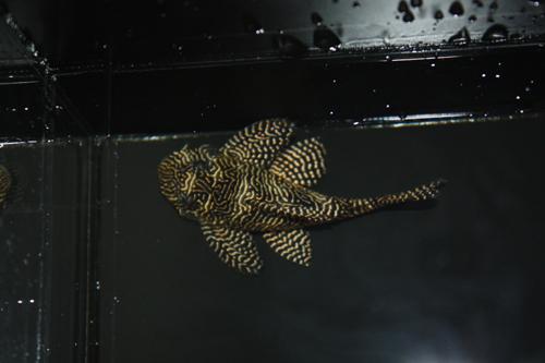 クイーンアラベスク② 東海 岐阜 熱帯魚 水草 観葉植物販売 Grow aquarium