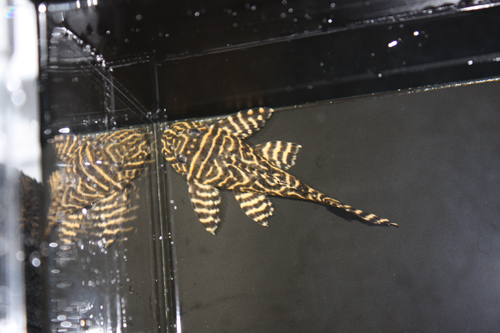 ゴールデンキングロイヤルペコルティア 東海 岐阜 熱帯魚 水草 観葉植物販売 Grow aquarium