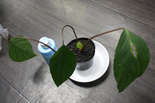 ホマロメナsp.グリーン スラウェシ産 東海 岐阜 熱帯魚 水草 観葉植物販売 Grow aquarium