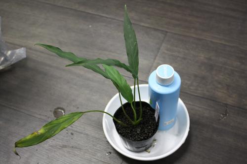スキスマトグロッテキスsp. スラウェシ 東海 岐阜 熱帯魚 水草 観葉植物販売 Grow aquarium