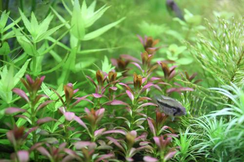 アルアナサンセット(アルアナの夕焼け) 東海 岐阜 熱帯魚 水草 観葉植物販売 Grow aquarium