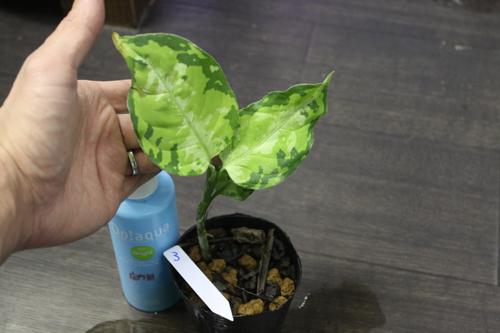 アグラオネマ ピクタム トリカラー③ 東海 岐阜 熱帯魚 水草 観葉植物販売 Grow aquarium