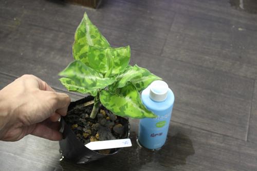 アグラオネマ ピクタム トリカラー④ 東海 岐阜 熱帯魚 水草 観葉植物販売 Grow aquarium