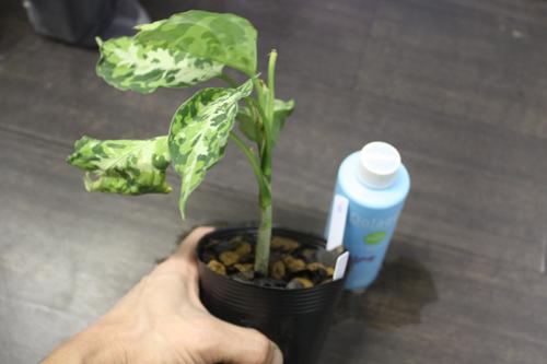 アグラオネマ ピクタム トリカラー⑥ 東海 岐阜 熱帯魚 水草 観葉植物販売 Grow aquarium
