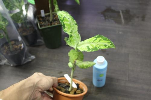 アグラオネマ ピクタム トリカラー⑧ 東海 岐阜 熱帯魚 水草 観葉植物販売 Grow aquarium