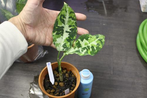 アグラオネマ ピクタム トリカラー⑨ 東海 岐阜 熱帯魚 水草 観葉植物販売 Grow aquarium