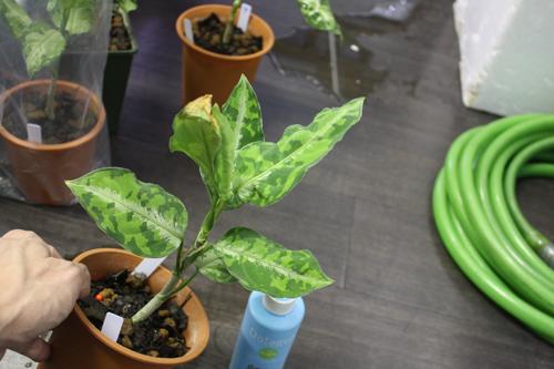 アグラオネマ ピクタム トリカラー⑩ 東海 岐阜 熱帯魚 水草 観葉植物販売 Grow aquarium