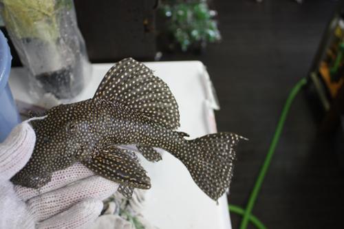 ニュースタークラウンプレコアラグアイヤ東海 岐阜 熱帯魚 水草 観葉植物販売 Grow aquarium