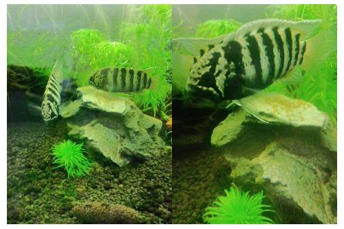 イバナカラ アドケタ クイアリ産卵 東海 岐阜 熱帯魚 水草 観葉植物販売 Grow aquarium