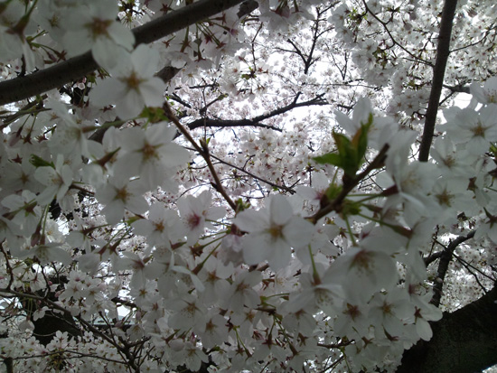 実家付近の桜