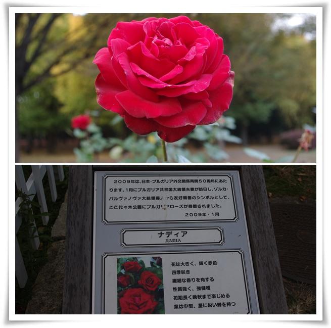代々木公園バラ