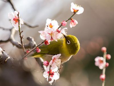 梅の花とメジロ(4)