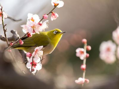 梅の花とメジロ(3)