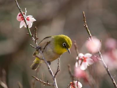 梅の花とメジロ(2)