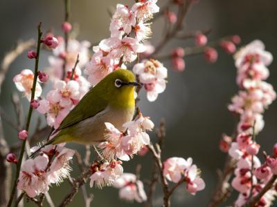 梅の花とメジロ(1)