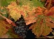 ナパ 葡萄